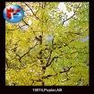 10074 Poplars