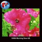 10096 Morning Dew