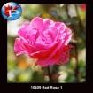 10409 Red Rose