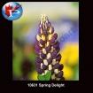10631 Spring Delight