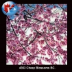 4353 Cherry Blossoms