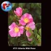 4731 Alberta Wild Roses