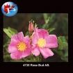 4735 Rose Bud AB.
