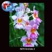 5679 Orchids