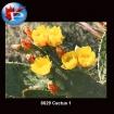 6629 Cactus1