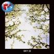 SKY-33 Blooms