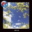 SKY-42 blooms
