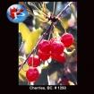 1250 Cherries