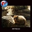 4607 Marmot