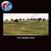 8731 Buffalo Herd